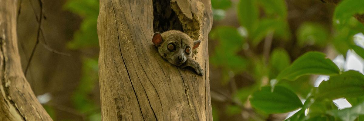 Lemur im Baum auf Madagaskar